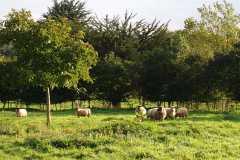 sheepL